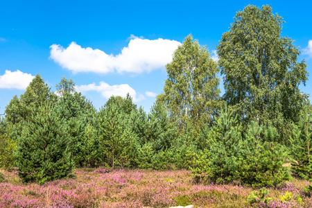 Field of heather flowers, autumn landscape with green trees and blue sky