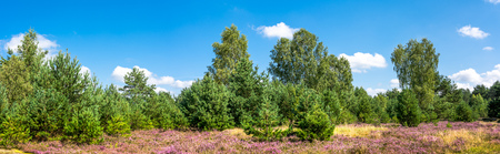 Green forest and field of heather flowers, autumn nature, panoramic vista, Poland Фото со стока - 84998376