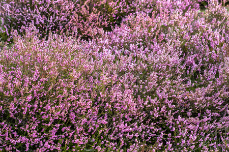 Beautiful heather in the forest close-up Stok Fotoğraf
