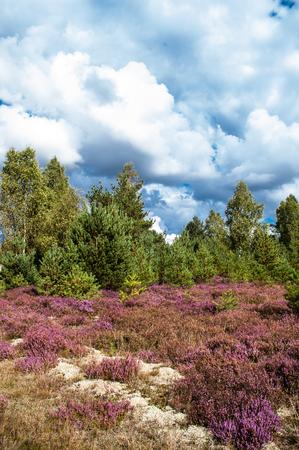 Dennenbos en heather bloemen, herfst landschap, getinte afbeelding Stockfoto