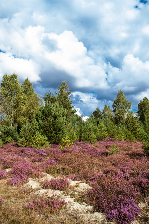 Pine forest and heather flowers, autumn landscape, toned image Stock Photo
