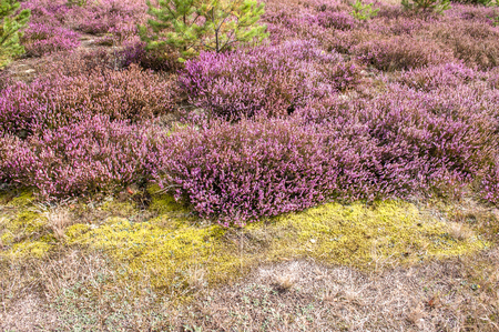 Field of heather flowers, close-up in the forest