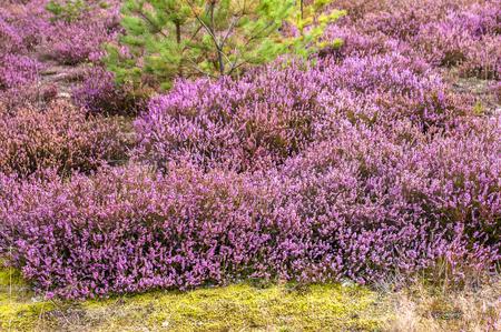Veld van heide bloemen, close-up in het bos