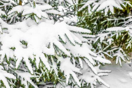雪の中のクリスマススプルースの木、白い雪の毛で覆われた枝、冬のシーン