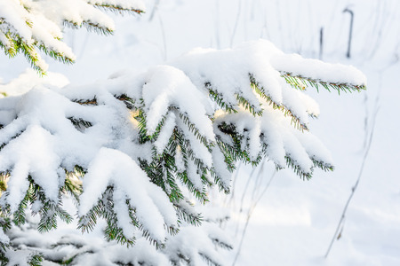 Christmas spruce tree in snow, branche covered with white snowy fluff, winter scene