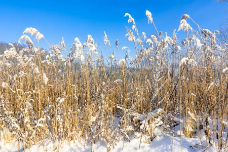 High grass in snow, frost in winter landscape and blue sky