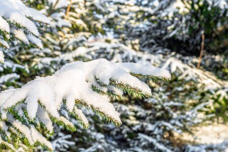 Christmas spruce trees in snow, branches covered with white snowy fluff, winter scene Stok Fotoğraf