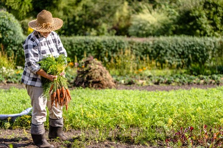 Woman gardener holding fresh carrots from the garden, vegetables from local farming, organic produce harvested at fall, healthy lifestyle hobby concept