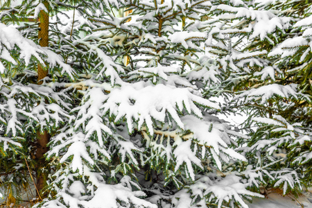 White christmas trees in snow, fir branches with snowy fluff, winter background
