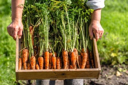 地元の農家が新鮮な野菜の箱を抱えて庭園、有機食品のコンセプトからニンジンを収穫