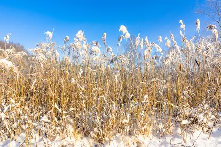 눈 속에서 높은 잔디, 겨울 풍경과 푸른 하늘에서 서 리