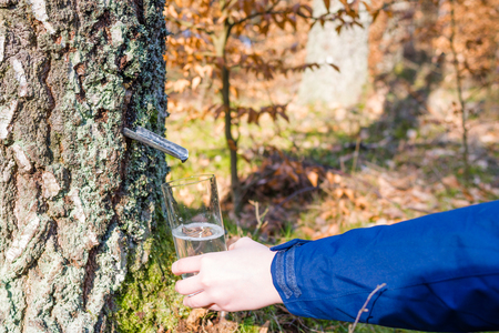 Collecting of birch juice, spring diet and healthy lifestyle concept