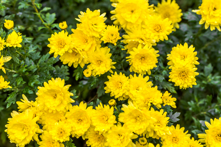 Yellow chrysanthemum background, autumn flowers bouquet Stock Photo