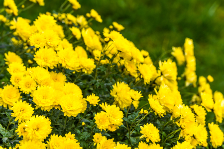 Background with autumn flowers, bouquet of yellow chrysanthemum Stock Photo