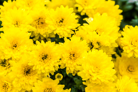 Background with autumn flowers, bouquet of yellow chrysanthemum Stockfoto