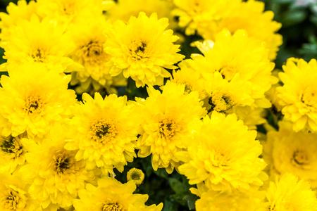 Background with autumn flowers, bouquet of yellow chrysanthemum Standard-Bild