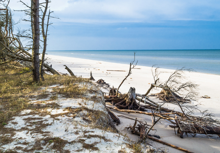 Empty beach. Deserted landscape and fallen trees over sea after storm, natural state of nature in National Park in Leba, Poland