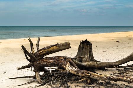 Plage vide avant la tempête. Paysage abandonné et troncs d'arbres tombés, état naturel de la nature, parc national Slowinski, Pologne, mer Baltique