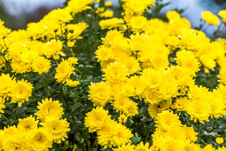 Yellow chrysanthemum background, autumn flowers bouquet 스톡 콘텐츠