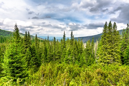 Fir trees and pine, mountain forest, landscape of evergreen coniferous woods in highlands