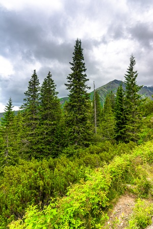 Mountain green forest, landscape of evergreen coniferous woods with spruce, pine and fir trees crowns Stock Photo
