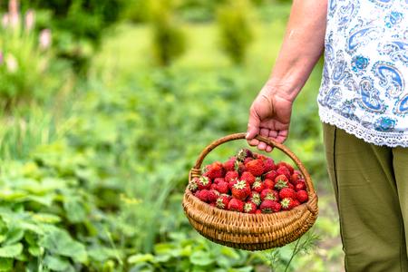 Senior farmer on strawberry farm with harvested strawberries in the basket, organic farming concept Standard-Bild