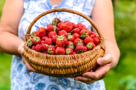 Farmer woman with strawberry basket in hands, farm fresh strawberries from organic farming 版權商用圖片