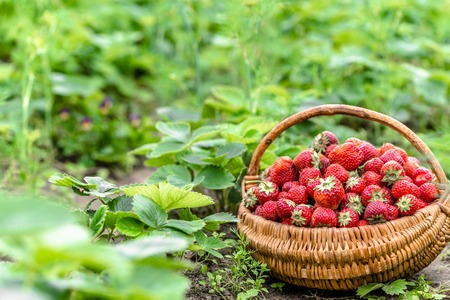 Harvest of strawberry on farm, basket of strawberries, organic farming concept