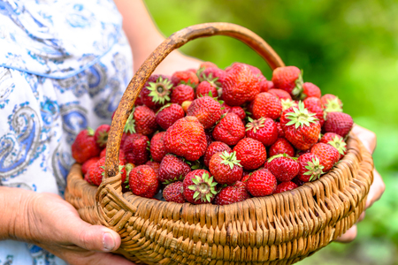 Farmer with strawberry basket, ripe strawberries harvest Stock Photo