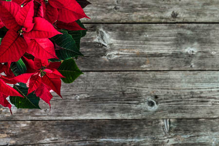 Christmas background with decoration, christmas poinsettia red flower on wooden rustic table 版權商用圖片