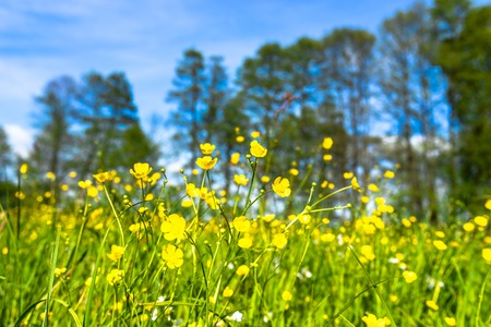Landscape of spring field with flowers, meadow with yellow buttercups in grass