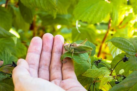 Macro of grasshopper on human hand among green leaves of tree. 版權商用圖片
