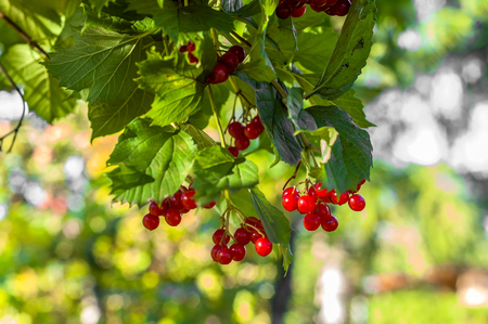 Viburnum red berries in the garden. Ripe fruits clusters on green branch. Stock Photo