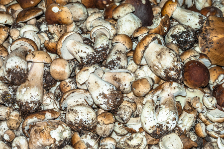 Big pile of boletus. Collection of small selected mushrooms.