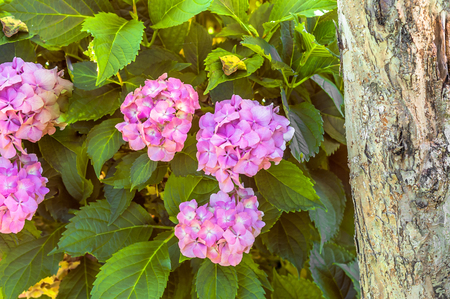 Pink hydrangea in the garden, summer flowers Stock fotó