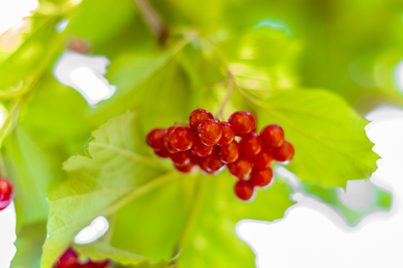 Viburnum red berries in the garden. Autumn fruits on green branch.