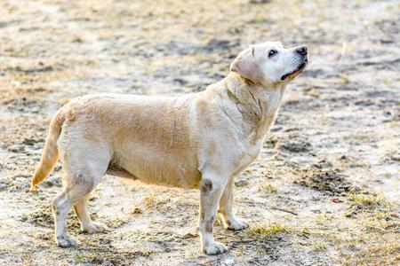 Funny labrador dog walking outdoors