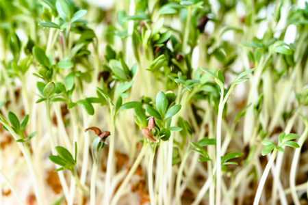 Fresh green sprouts for salad, superfood diet and healthy eating concept