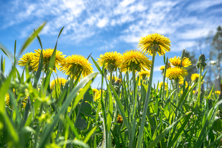 Yellow dandelion in field, flowers and blue sky, low angle view from grass