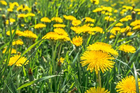Yellow dandelion on meadow, flowers in grass