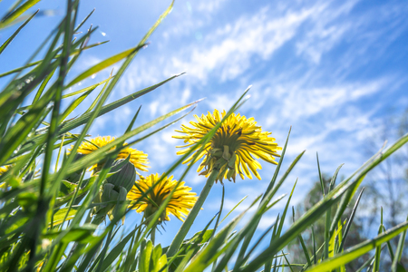 Grass with dandelion flowers and blue sky, low angle view Stock Photo