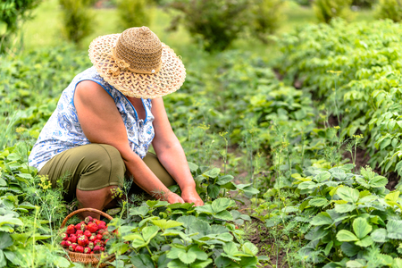 Senior farmer on strawberry farm, harvest of strawberries to the basket, organic farming concept Stok Fotoğraf