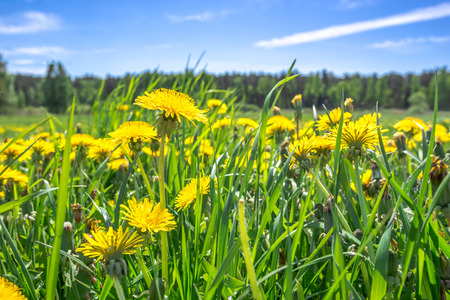 Yellow dandelion field, spring flowers in grass and blue sky, low angle view