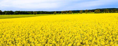 Rapeseed fields, panorama with flowers on field of rape, landscape