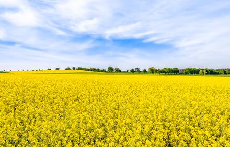 Rapeseed fields with yellow flowers, field of rape, landscape