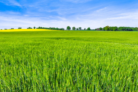 Grass field, green spring landscape with grassland or farmland with wheat crop growing in springtime