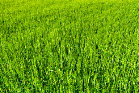 Background of grass field, green texture of crop with barley Stock Photo
