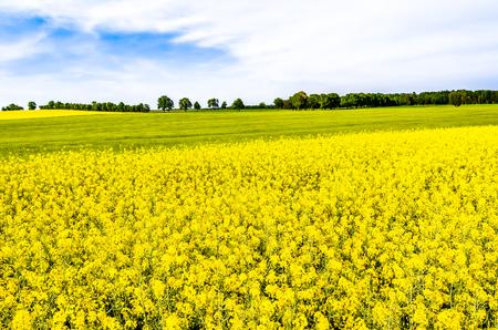 Rapeseed fields with flowers, yellow field of rape, landscape