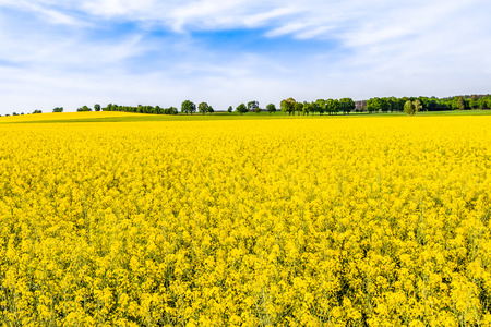 Blooming rapeseed fields with yellow flowers, field of rape, landscape