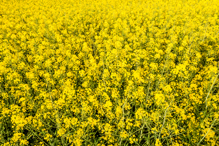 Yellow background with flowers of rapeseed on field 스톡 콘텐츠